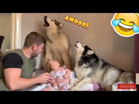 Giant Malamute Dogs Howl Along To Story Time! Guaranteed To Make Your Dog Howl!