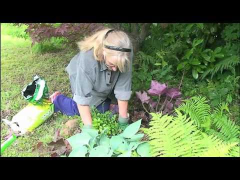 Heuchera - Umpflanzen von Purpurglöckchen
