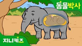 코끼리 왕배꼽 | 코끼리에게도 배꼽이? | 동물박사★지니키즈