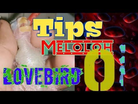 Luar Biasaaaaa !!!!! Tips Meloloh Indil Lovebird Usia 0 hari smp 1 Minggu