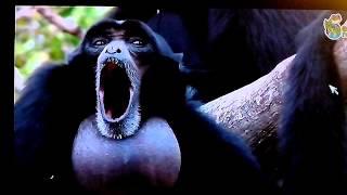 Funny monkey screams