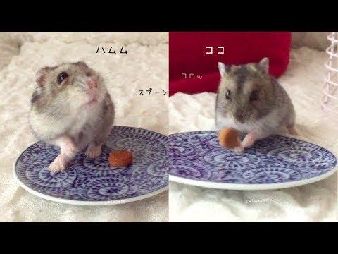 ハムスター ハムムとココ。久しぶりのきなこだんご。Hamster