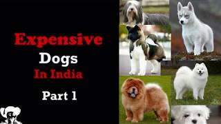 afghan hound puppies price - TH-Clip