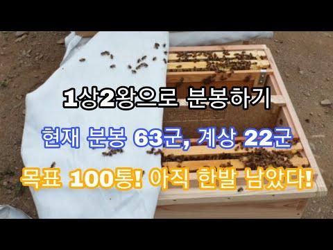 (양봉 춘천 청춘벌꿀) 1상 2왕으로 분봉내기! 100통까지 얼마 안남았다! 화이팅! #bee#honeybee#korea#beekeeper#분봉#벌통늘리기#왕대#처녀왕