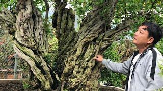 SH.2423.Nhiều lời đồn về Cây Thạch lựu lớn nhất Việt Nam hôm nay đang ở Sapa.Lào Cai ra sao.