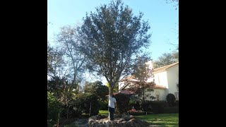 The Tree Planters Presents Our Live Oak Tree Delivered, Planted, and Guaranteed in Central Florida