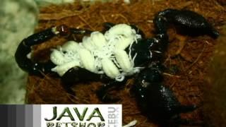Emperor Scorpion for Sale in Cebu City | Feeding Emperor Scorpion | Java Petshop Cebu