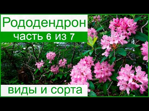 💮 Виды и сорта рододендрона – описание и названия