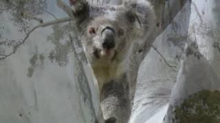 Glory – koala release August 2016