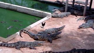 Крокодил съел курицу