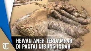 Viral Hewan Aneh Berukuran Raksasa Terdampar di Pantai Nibung Indah, Warnanya Putih Mirip Ubur-ubur