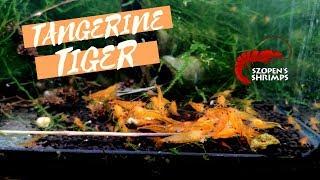 Krewetki w akwarium - TANGERINE TIGER