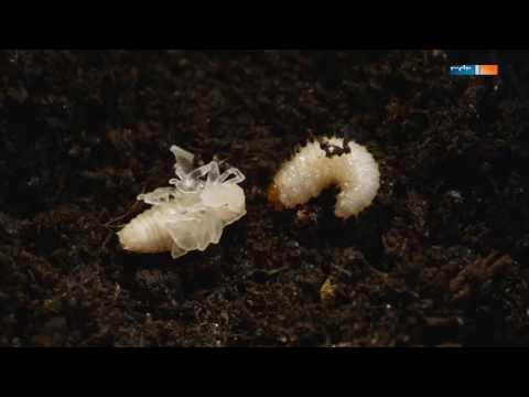 Dem monatlichen Welpen von den Würmern