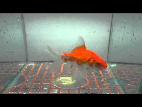 庄内金魚 1000 5