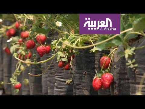 العرب اليوم - شاهد: رحلة ترفيهية مع الفراولة في أندونيسيا