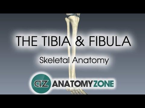Schienbein (Tibia) und Wadenbein (Fibula) - via medici