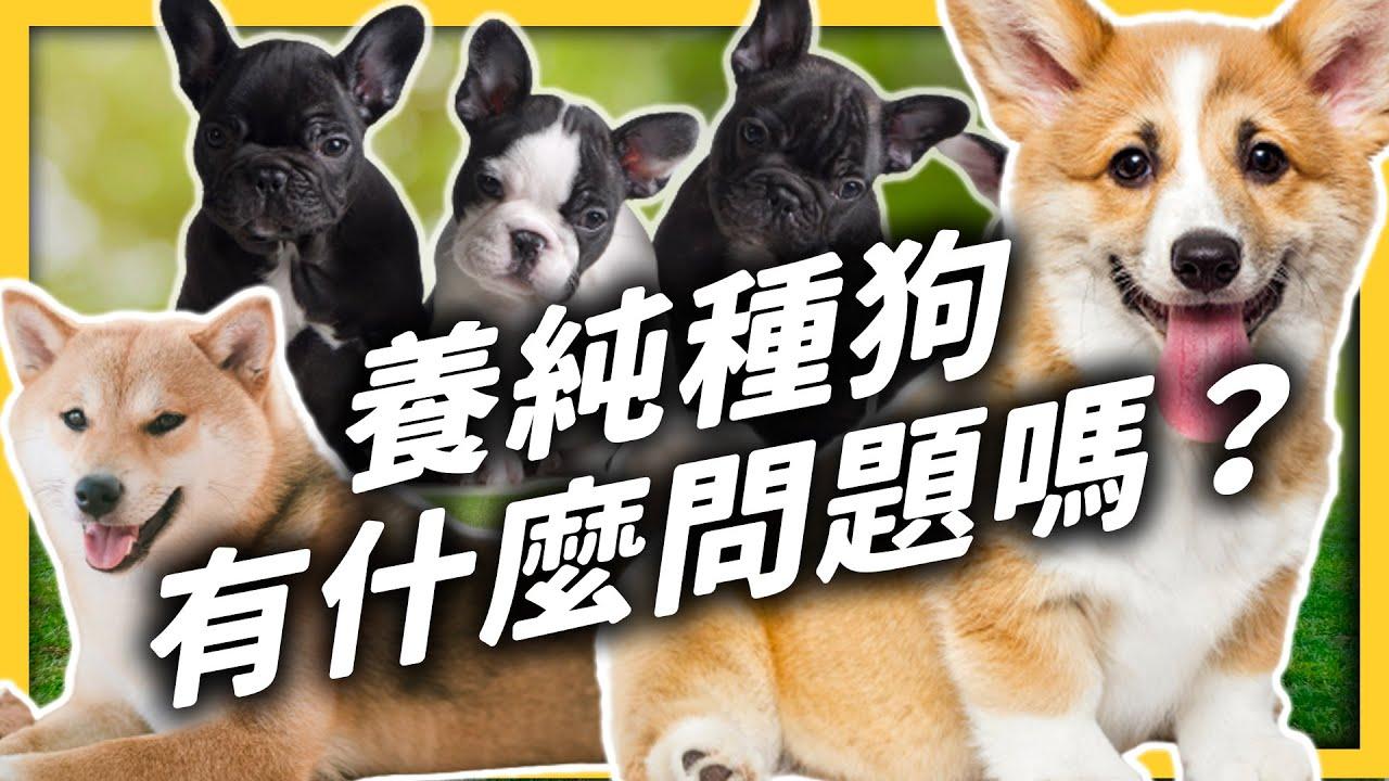可愛也有代價?人工繁殖純種狗,會讓狗狗滿身是病?|志祺七七
