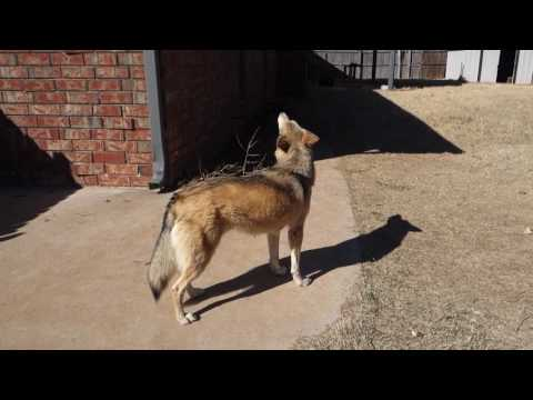 Very Low Content Wolfdog Howling With Noon Sirens.