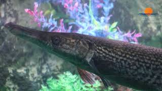 ALLIGATOR GAR | UNDER THE SUN AQUARIUM | UDAIPUR