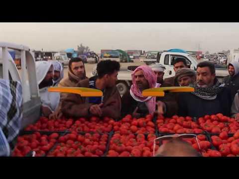 شاهد بالفيديو.. شاهد اعلان وزراة الزراعة السيطرة على مرض اللفحة المتأخرة بالبصرة #المربد