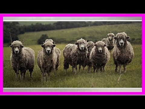 """Schurwolle: Das ist der Unterschied zu """"normaler"""" Wolle"""