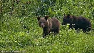 Medveles kamera European brown bear cam
