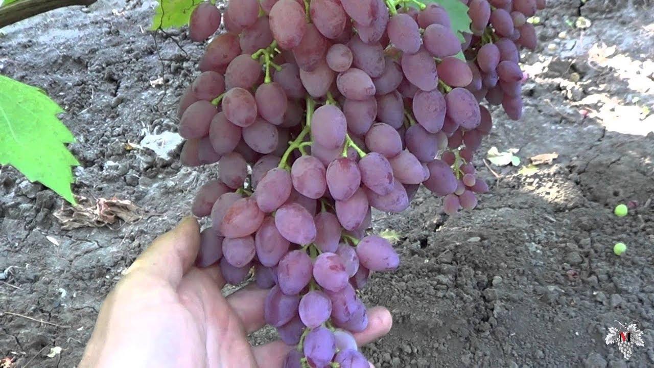 Сорт винограда Кишмиш Запорожский. Виноград 2014.