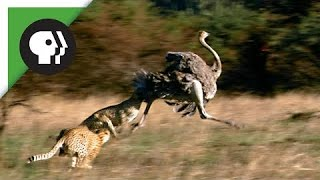 Leopard and ostrich real fight   Best moment Leopard vs ostrich   Animal Fights 2016