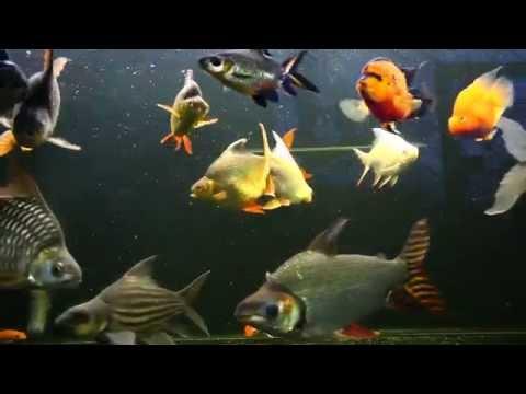 ปลาเทราท์ปรสิต