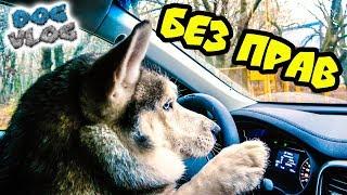 DOGVLOG: ХАСКИ ЗА РУЛЕМ (Хаски Бандит) Говорящая собака