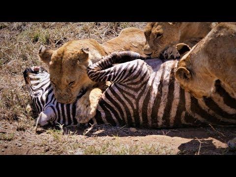 Serengeti: Pride of lions hunting and killing zebras (4 K/UHD)