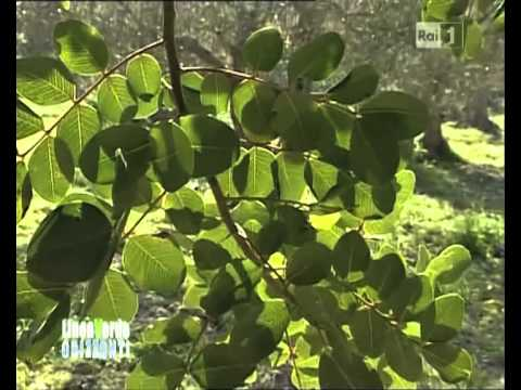 Natura alla panna di un siberik per perdita di peso