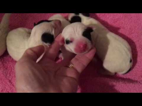 Jack Russell Terrier puppies 1 day old
