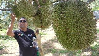 Bumper harvest, so Karak orchard throws a durian party | Kholo.pk