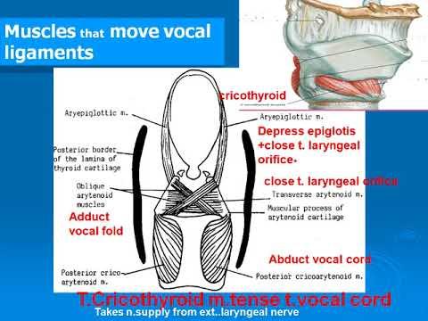 Quels muscles se balancent à podtyagivanii pour le cou