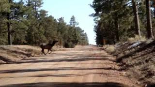 Running herd of Elk....Heber, AZ.   2/18/12