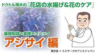 [花店の水揚げ&花のケア]アジサイ編