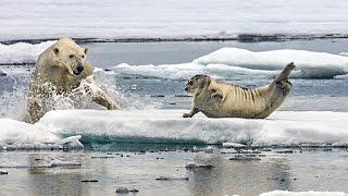 Un ours polaire affamé surprend un phoque - ZAPPING SAUVAGE