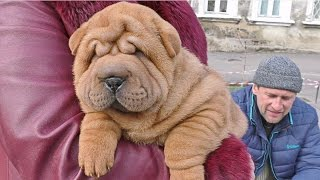 СУПЕР ЩЕНОК ШАРПЕЙ. Amazing shar pei puppy. Одесса.