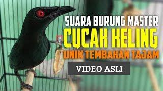 Cucak Keling Gacor Suara Burung Gacor Masteran