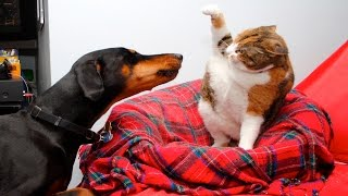 Смешные Кошки и Собаки Подборка #3 - Кошки Против Собак - Смешные Животные Ноябрь 2016 ( Выпуск #6 )