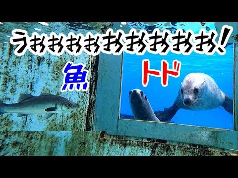 【トド】なでしことニコに生きた魚見せてみた!