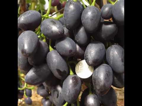 Виноград Молдова#характеристика - уход