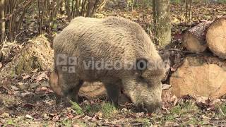 WILD BOAR IN THE WOODLAND BY ANTHERING NEAR BY SALZBURG AUSTRIA AUTUMN HHU9WTNLX