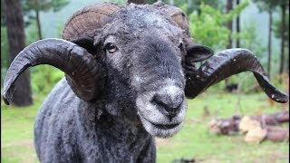 Angry Ram gets a haircut then Attacks the Cameraman