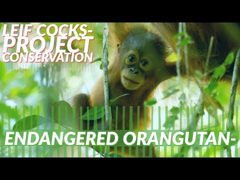 Orangutan Conservation: Intelligence Facts & Jungle School Project -- W/ Leif Cocks