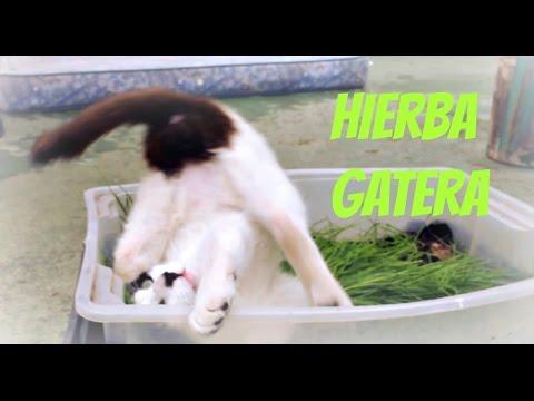 Los gatos prueban la hierba gatera