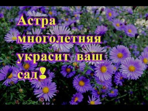Астра многолетняя украсит сад осенью! Астра многолетняя неприхотливое растение!