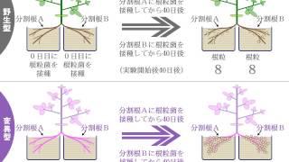マメ科植物における根粒数の調節機構ゆうきのバイオロジー