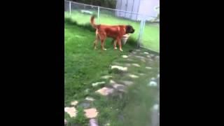 Saint Bernard/Mastiff mix